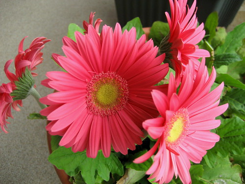 gerbera daisy - june 11