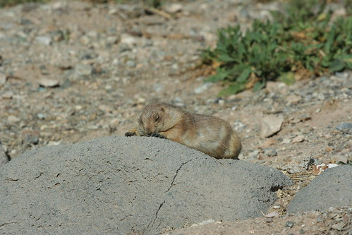 Tired prairie dog
