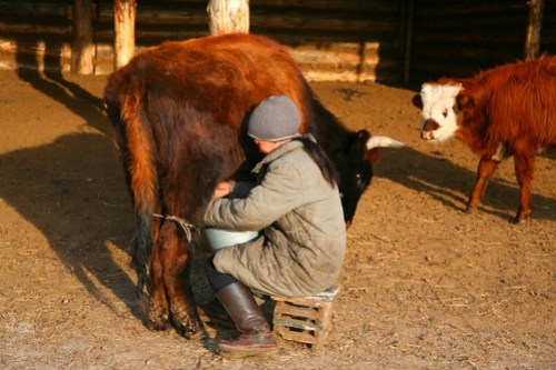 Milking the cows, Mongolia