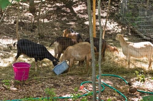 Humble Garden 2009: momma goats
