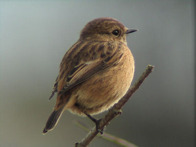 """Stonechat • <a style=""""font-size:0.8em;"""" href=""""http://www.flickr.com/photos/30837261@N07/10723248605/"""" target=""""_blank"""">View on Flickr</a>"""