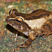 "Raorchestes johncee_Sandeep Das • <a style=""font-size:0.8em;"" href=""http://www.flickr.com/photos/109145777@N03/13933237565/"" target=""_blank"">View on Flickr</a>"