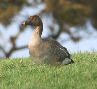 """Tundra Bean Goose • <a style=""""font-size:0.8em;"""" href=""""http://www.flickr.com/photos/30837261@N07/10722896535/"""" target=""""_blank"""">View on Flickr</a>"""