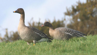 """Bean Goose and Pink-footed Goose • <a style=""""font-size:0.8em;"""" href=""""http://www.flickr.com/photos/30837261@N07/10722896825/"""" target=""""_blank"""">View on Flickr</a>"""
