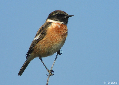 """Stonechat (J H Johns) • <a style=""""font-size:0.8em;"""" href=""""http://www.flickr.com/photos/30837261@N07/10723534423/"""" target=""""_blank"""">View on Flickr</a>"""