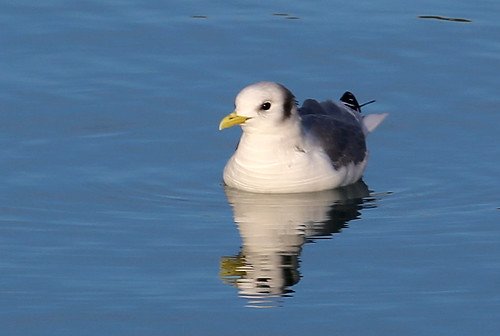 "Kittiwake, Newlyn Harbour, 19.01.14 (G.Hobin) • <a style=""font-size:0.8em;"" href=""http://www.flickr.com/photos/30837261@N07/12116770213/"" target=""_blank"">View on Flickr</a>"