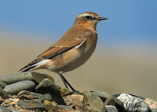 """Wheatear (J H Johns) • <a style=""""font-size:0.8em;"""" href=""""http://www.flickr.com/photos/30837261@N07/10723338234/"""" target=""""_blank"""">View on Flickr</a>"""
