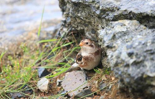 "Snow Bunting, Newlyn, 181013 (K.Reeves & B.Pollard) • <a style=""font-size:0.8em;"" href=""http://www.flickr.com/photos/30837261@N07/10377503366/"" target=""_blank"">View on Flickr</a>"
