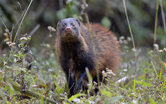 """Stripe-necked-Mongoose_Pandimotta_12-February-2014 • <a style=""""font-size:0.8em;"""" href=""""http://www.flickr.com/photos/109145777@N03/13910100701/"""" target=""""_blank"""">View on Flickr</a>"""