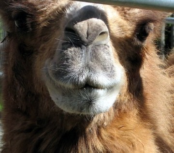 Bactrian Camel by Just_Chaos via flikr