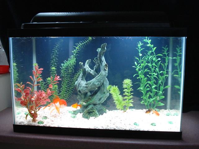 DSC01887 | 10 Gallon fish tank   we have a Lionhead goldfish