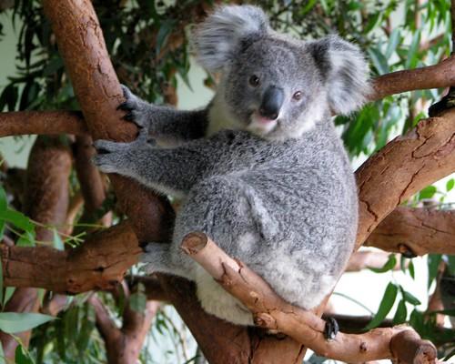 featherdale koala photo