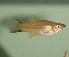 Cloud Mountain Minnow pregnant (DianesDigitals) Tags: fish koi carp