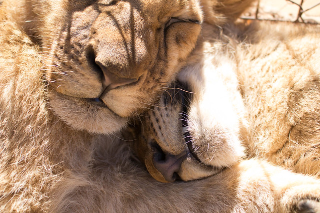 Tangled (Lion cubs)