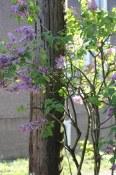 Lilacs   Strathcona