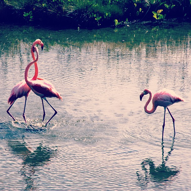#Flamingos my new favourite creature from the #Galapagos #travel #contiki