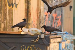 Railtown Crows