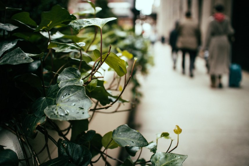 Chicago: Ivy