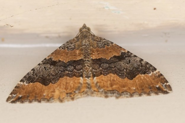 a Hydriomena deltoidata moth resting on the outside of our house in the evening