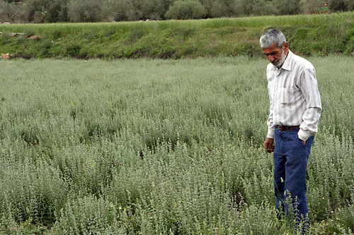 Abu in za'atar field