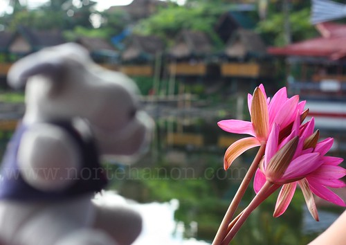 13 Lake Sebu lotuses