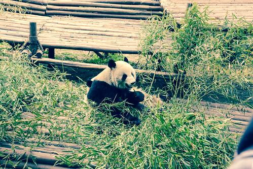 Research Base of Giant Panda Breeding - Chengdu, China-2.jpg