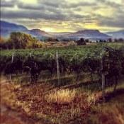 Dawn walk through a vineyard south of Osoyoos