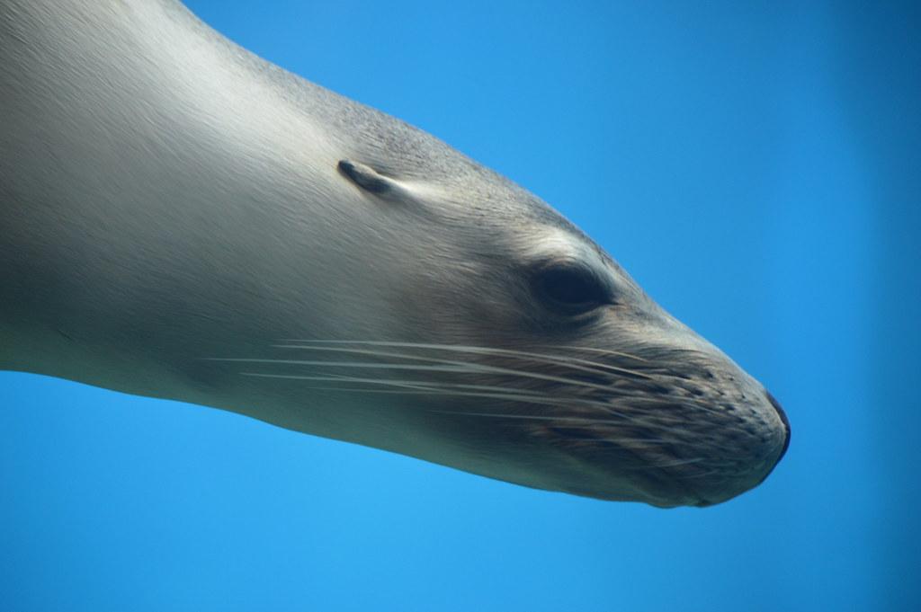 Imagen gratis de un león marino
