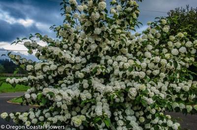 爆米花荚莲属的植物