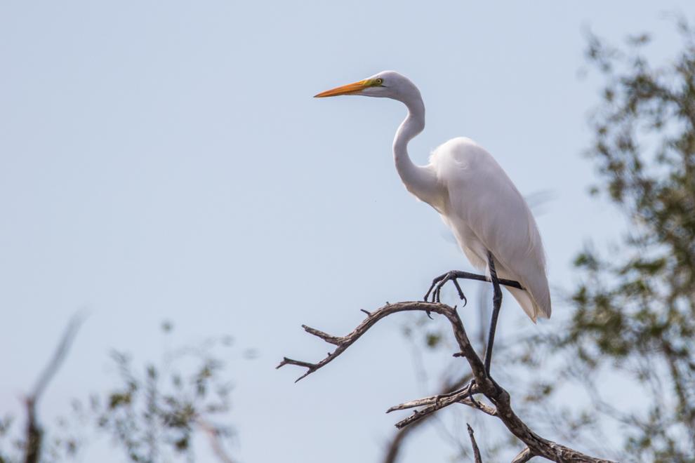 La garza blanca (Casmerodius albus) o garceta grande es una especie de ave pelecaniforme de la familia Ardeidae. Es una de las garzas más ampliamente distribuidas por el mundo. Alimentándose principalmente de peces, ranas, pequeños mamíferos, y ocasionalmente aves pequeñas y reptiles, atrapándolos con su pico largo y afilado. (Tetsu Espósito)