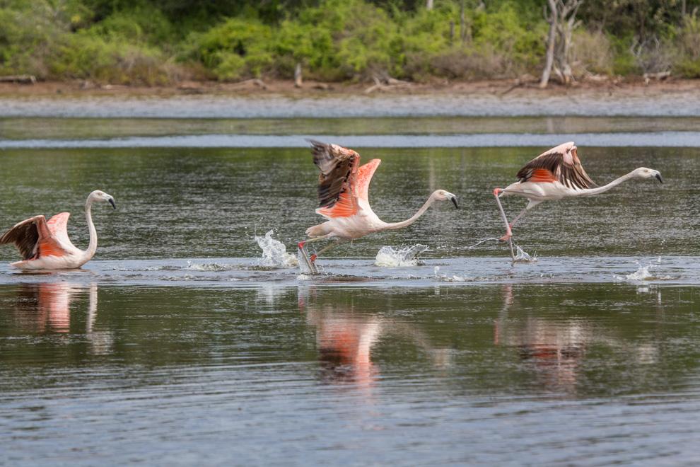 Los Flamencos de la familia Phoenicopteridae habitan y se reproducen más al sur del mundo, en Argentina, Bolivia, Chile, Paraguay y Perú. (Andrea Ferreira)