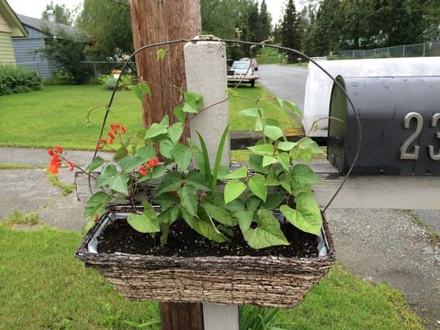 mailbox scarlet runner beans