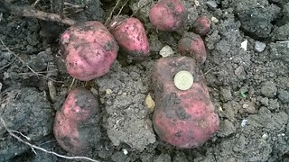 Potatoes from one plant, fertilised by comfrey