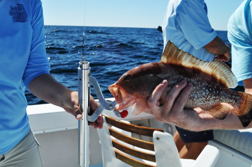 A Red Grouper Being Fitted with a Descending Device, Demonstrated by Florida Sea Grant.