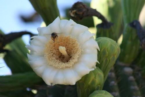 Saguaro bloom week