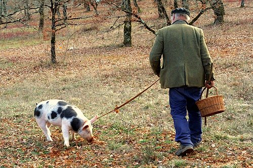 searching for black truffles