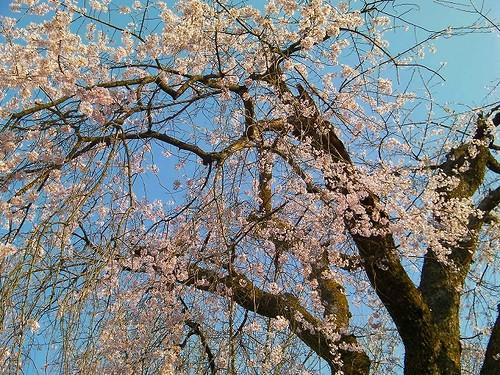 香林寺のしだれ桜