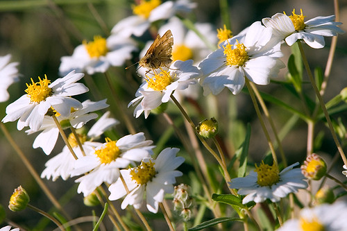 moth_on_daisy_s