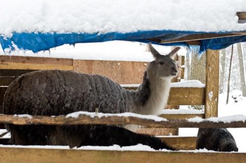 Humble Garden 2010: misty the llama