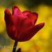 Tulipán sobre fondo amarillo
