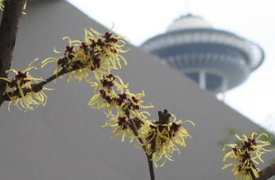 hamamelis at the Seattle Center