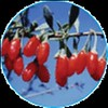 Gogi Berry Supplement by JamieMurphy