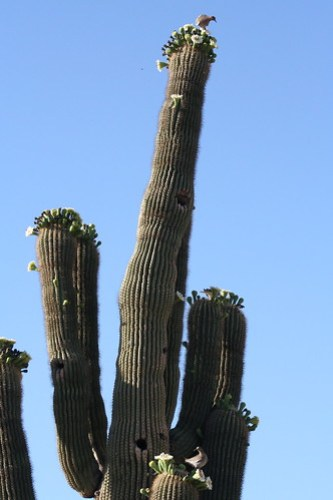 Saguaro bloom week