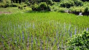 Rice Crops - Pagudpod