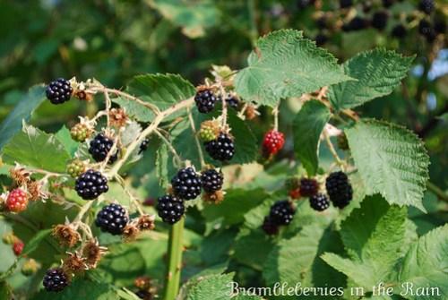 Blackberries Summer 2010