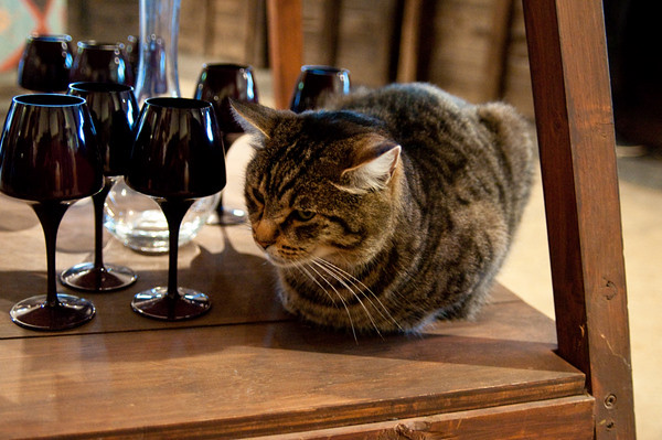 Winery cat!