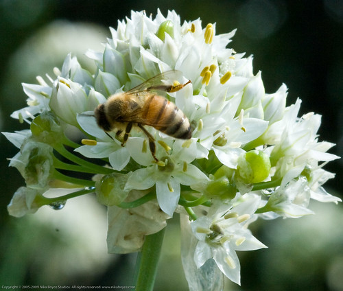 Humble Garden 2010: bee & garlic chives