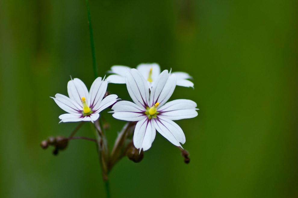 Flores de arbustos comunes son las primeros en verse en los campos y al costado de las rutas, esta es una de los tantas que vimos en la ruta 1 camino a Paraguarí el sábado 11 de Setiembre. (Elton Núñez - Paraguari, Paraguay)