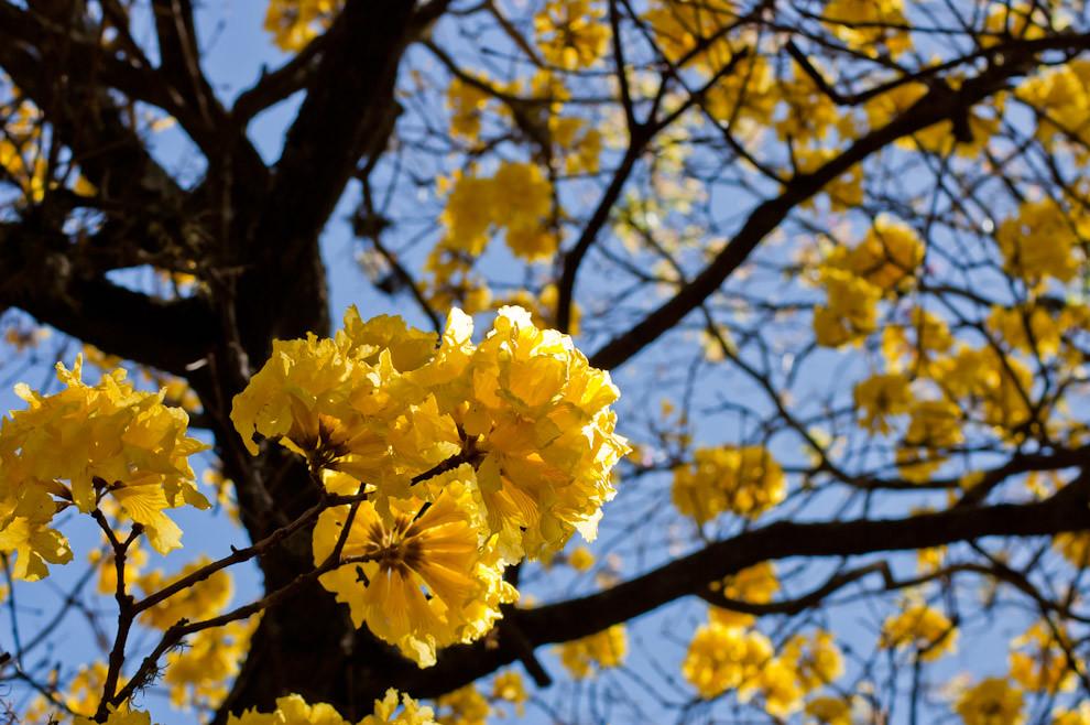 Flores de Lapacho Amarillo (Tabebuia chrysotricha) son vistas en un árbol frente a la avenida San Isidro del Barrio Villa Policial de Lambaré el sabado 4 de Setiembre por la mañana. (Elton Núñez - Lambaré, Paraguay)