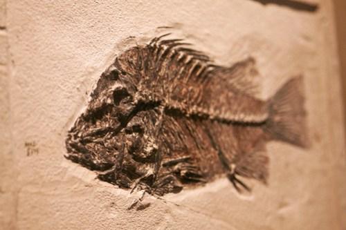 HMNH fish fossil